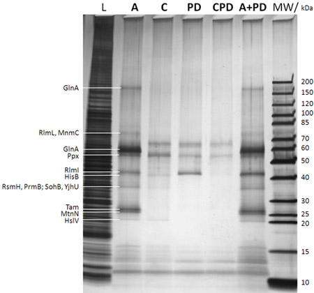 的顶部(MW:分子量标记与相应的分子量非常正确的标记带,L:0.图片
