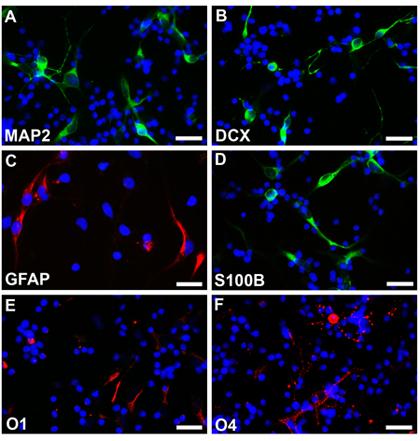 星形胶质细胞和少突胶质细胞(C,D,若丹明,fluoroscein)(E,F,若丹