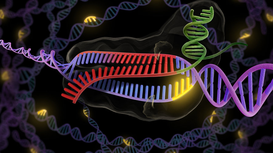The CRISPR system utilizes a strand of Guide RNA to match with the DNA and a naturally occurring enzyme called Cas9 to then cut the DNA around this re-targeted portion to alter or even disabled the gene entirely.